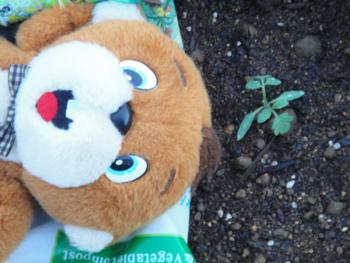 20100714_tomato.JPG