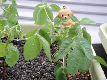 20100726_soybeans02.JPG